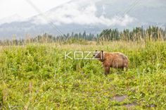 sniffing bear - A bear pauses to sniff the air as it walks through Denali National Park