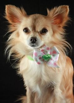 Chihuahua's! This one looks like my Bella!