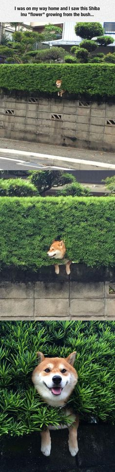 What a pretty flower... #shibainu