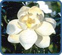 Magnolia, State Flower