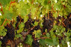 Cabernet grapes ripening...awaiting harvest time.
