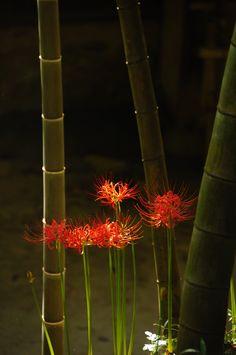 煌く竹と曼珠沙華 photo by Ariel on GANREF
