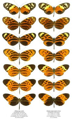 Mullerian Mimicry: unpalatable organisms that share a pattern of warning coloration; Ex: some moderately unpalatable butterflies mimic highly unpalatable ones