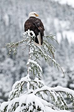 Bald Eagle, near Chilkoot Lake, Haines, Alaska © 2009 Randall K. Roberts*