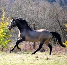 Morgan Stallions at stud. Morgans for sale., Scandia Morgan Horse Farm LLC After Dark Gunsmoke