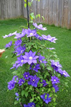 1000 Images About Clementis On Pinterest Clematis