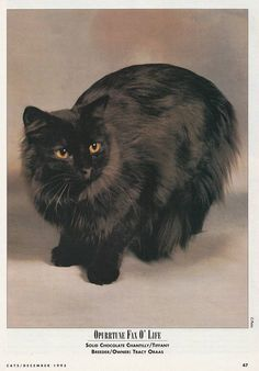 Chantilly - in 1995 Cat Fancy Issue Contributer: Sarah Hartwell Fancy Cats, Cat Breeds, Cats And Kittens, Kitty, Medium, Animals, Album, Coat, Cats