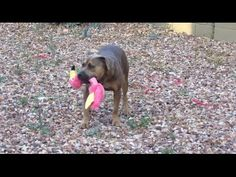Puppy Hasbro Playing with His Toy Flamingo - YouTube