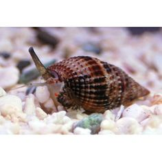 Nassarius Snail, eats food that falls to the bottom and debri, burrows in gravel,  reef safe