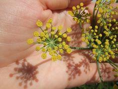 flor de funcho