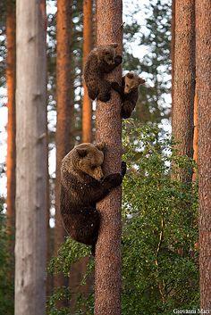 Brown Bears, Suomussalmi