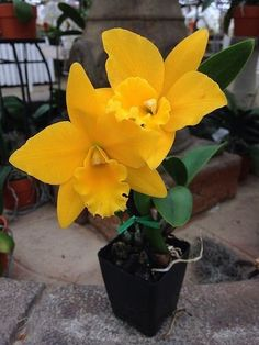 Strange Flowers, Unusual Flowers, Rare Flowers, Amazing Flowers, Yellow Flowers, Orchid Planters, Orchids Garden, Cattleya Orchid, Cymbidium Orchids