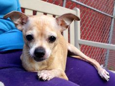 TO BE DESTROYED - 06/21/14 Manhattan Center -P ***NEW PHOTO***  My name is BLANCHE. My Animal ID # is A1003560. I am a female tan and white chihuahua sh mix. The shelter thinks I am about 8 YEARS old.  I came in the shelter as a STRAY on 06/17/2014 from NY 10029, owner surrender reason stated was STRAY. https://www.facebook.com/photo.php?fbid=824248097588071set=a.611290788883804.1073741851.152876678058553type=3theater