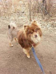 Lion cut Pomeranian