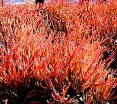 Euphorbia tirucalli 'Sticks on Fire'atSan Marcos Growers