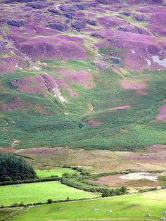 Gorgeous Purple fields in Ireland...  Purple hills, Carlingford by josephdoherty, via Flickr