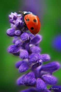 Do ladybugs build their own home? Ladybugs reside where insect pest populations are high. Such as in crop fields, gardens, and in the canopies of trees. Ladybug or ladybird on a bluebell here. Beautiful Creatures, Animals Beautiful, Foto Macro, Fotografia Macro, A Bug's Life, Tier Fotos, Mundo Animal, Macro Photography, Belle Photo