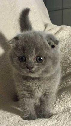 Scottish Fold Kittens for sale at Celtic Folds Cattery, Texas.