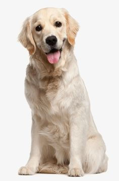 A complete list of the Golden Retriever puppy breeders in Kentucky and surrounding states! Breeders close to Paducah, Winchester, and Owensboro! Pets, Pet Dogs, Dogs And Puppies, Labrador Retriever Dog, Dogs Golden Retriever, Golden Retrievers, Wild Animals Pictures, Wood Cat, Large Dog Breeds
