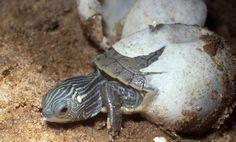 Descubre cómo se reproducen las tortugas, ¡te contamos el proceso!