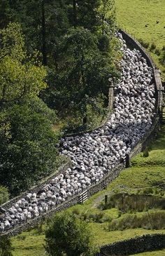 Driving the sheep to a new field - Lake District, England