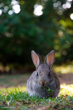 My entire family loves rabbits, and baby bunnies HAVE to be one of the most adorable animals on the planet. With those big fuzzy ears and the twitch-twitch of their cute little Cute Small Animals, Animals Beautiful, Funny Animals, Bunny Art, Cute Bunny, Beatrix Potter, All Gods Creatures, Rabbit Names, Guinea Pigs