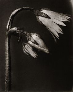 Karl Blossfeldt botanical and photographer Karl Blossfeldt, Botanical Art, Botanical Illustration, Still Life Photography, Fine Art Photography, Flower Photography, Natural Form Art, Chiaroscuro, Fine Art Gallery