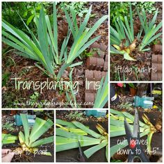 How to Plant Iris - The Garden Frog Boutique
