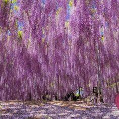 As fotos deslumbrantes obtidas por diferentes fotógrafos parecem eternizar uma estranha chuva de flores rosa e lilás. Na verdade, elas captam a floração de uma  Wisteria (ou Wistaria) com 144 anos de idade e que se encontra no Ashiwaga Flower Park (Japão). Acredita-se que este exemplar nem seja o maior do mundo, ainda que ocupe inacreditáveis 176 m2 e esteja lá enfeitando o espaço desde 1870.