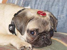 Milo…. my old pug