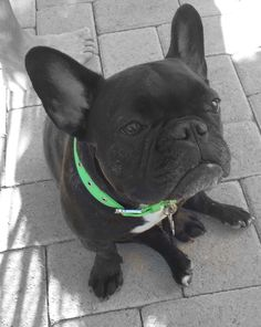 French Bulldog Hootie #frenchbulldog #hootie