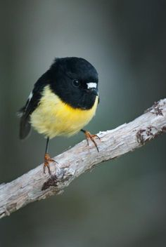Tomtit. Male South Island tomtit, breeding plumage. Eglinton Valley,
