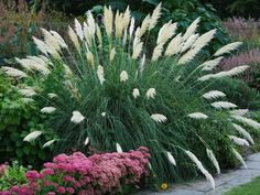 Pampas Grass Late Summer Display Amidst Pink Flowers