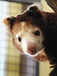 tree kangaroo! looks like a cross between a koala bear and a teddy bear!