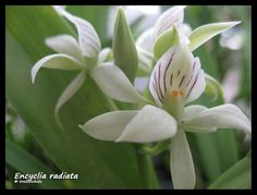 Prosthechea chacoensis