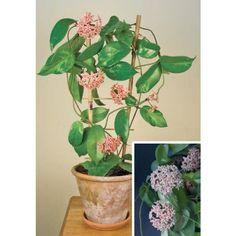 Fragrant Grape Hoya (Hoya subcalva)