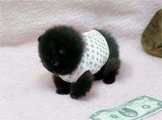 Pretinho fofo #animais #cute #timbeta