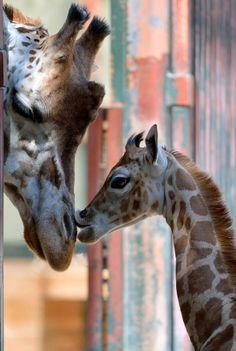 Giraffe Mom and her cute baby, Zoo Vienna