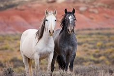 Soul Sisters ~ A pair of wild mustang mares are virtually inseparable. (c)Ken Lee Photographer