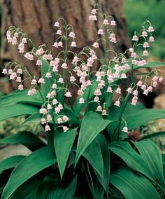 """Lily-of-the-Valley, Pink  Plant Height: 6-8""""  Spacing: 6""""   Blooms:  Late Spring to Early Summer"""