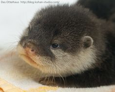 Oh these baby otters are soooo cute!!