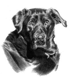 how to draw a dog black lab