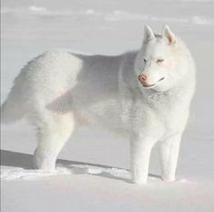 Wonderful All About The Siberian Husky Ideas. Prodigious All About The Siberian Husky Ideas. Beautiful Wolves, Beautiful Dogs, Animals Beautiful, Animals And Pets, Cute Animals, Husky Puppy, Beautiful Creatures, Pet Birds, Animal Pictures