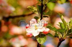 #Appleblossom #Lizenzfreie #Fotos, #Bilder und #Stock #Fotografie. #Image 42096970. auf @123rf http://de.123rf.com/photo_42096970_appleblossom.html