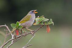 Foto sabiá-do-banhado (Embernagra platensis) por Fernando Farias | Wiki Aves - A Enciclopédia das Aves do Brasil