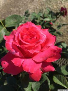 'April Moon ™ (hybrid tea, Jackson & Perkins 2016)' rose, click to enlarge