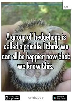 A group of hedgehogs is called a prickle. I think we can all be happier now that we know this.
