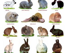 A4 Laminated Posters. Breeds of Rabbits