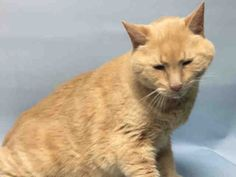 LOTUS - A1078457 - - Brooklyn  Please Share:   ***TO BE DESTROYED 07/08/16*** AFFECTIONATE AND GOOD WITH KIDS – SENIOR KITTY LOTUS WAS DUMPED FOR PET HEALTH – BUT THE ACC ONLY SAYS HE HAS A COLD! LOTUS was gentle with children and an affectionate cat. He is a neutered boy who was given to the owner as a gift and only has been there for 6 months. Sadly, for some reason he was dumped at the kill shelter – when he really is a super cat! He loves catnip toys a