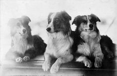 Collies aboard the tea clipper Cutty Sark, c. 1885 -- These look like Farm Collies, which are called English Shepherds here in the U.S. I have one, he's tri-colored. He's on a couple of my boards. :)